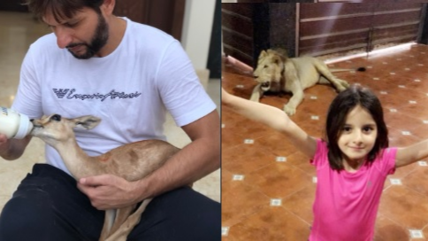 Sindh Wildlife department steps in after Shahid Afridi shares a picture with a Lion on Twitter