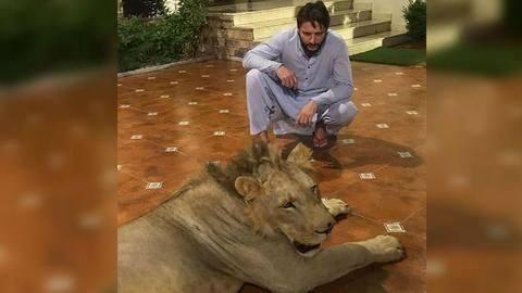 शाहिद अफ़रीदी ने अपने घर में पल रहे बब्बर शेर की तस्वीरें साझा की
